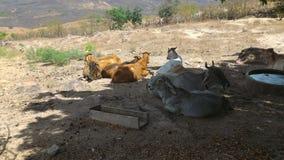 Exploração agrícola - vacas na grama foto de stock