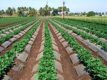 Exploração agrícola vegetal Foto de Stock Royalty Free
