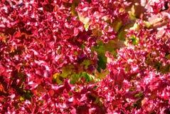 Exploração agrícola vegetal da hidroponia do carvalho vermelho em Tailândia Fotos de Stock