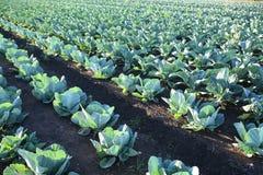 Exploração agrícola vegetal do campo do repolho Fotos de Stock Royalty Free