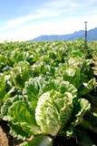 Exploração agrícola vegetal do repolho chinês verde. fotografia de stock royalty free