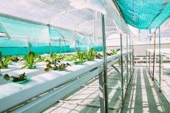 Exploração agrícola vegetal verde da hidroponia imagem de stock
