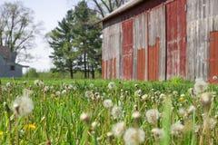 A exploração agrícola velha histórica com dente-de-leão semeia o sopro no vento e no f foto de stock