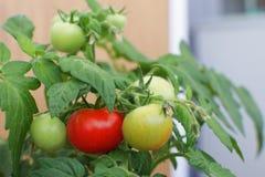 Exploração agrícola vermelha verde Harves da agricultura do foco seletivo de planta de tomates imagens de stock