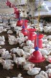 Exploração avícola com a galinha branca nova que está sendo produzida para a carne Fotos de Stock