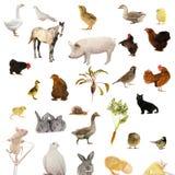 Explorações agrícolas animais Fotografia de Stock