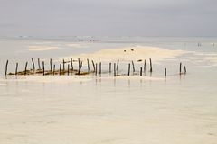 Explorações agrícolas da alga no Oceano Índico, Zanzibar Foto de Stock