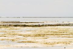 Explorações agrícolas da alga no Oceano Índico, Zanzibar Imagens de Stock Royalty Free