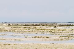 Explorações agrícolas da alga no Oceano Índico, Zanzibar Imagem de Stock Royalty Free