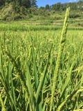 Explorações agrícolas do arroz Imagens de Stock