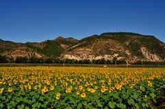 Explorações agrícolas do girassol Foto de Stock