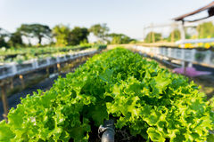 Explorações agrícolas do jardim do legume fresco Fotografia de Stock Royalty Free