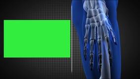Exploración completa del cuerpo humano que muestra el esqueleto con los espacios de la copia ilustración del vector