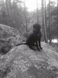 Exploración del caniche Fotografía de archivo
