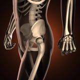 Exploración humana de la radiografía con los huesos Imágenes de archivo libres de regalías