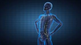 Exploración humana de la radiografía de la radiografía de la espina dorsal libre illustration