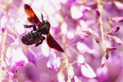 Exploración oscura de la flor del ` s de la abeja Imágenes de archivo libres de regalías
