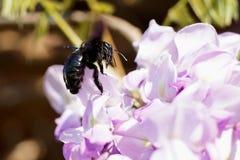 Exploración oscura de la flor del ` s de la abeja Fotografía de archivo