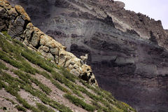 Explorador de Bharal en un acantilado Fotos de archivo