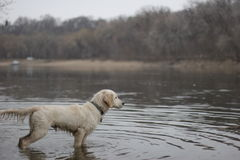 Explorador do cão Foto de Stock