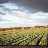 Exploração agrícola da alface Foto de Stock Royalty Free