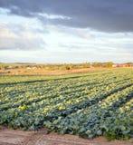 Exploração agrícola da alface Fotos de Stock Royalty Free