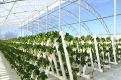 Exploração agrícola da morango Fotografia de Stock