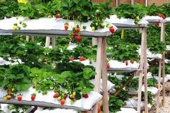 Exploração agrícola da morango. Foto de Stock