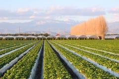 Exploração agrícola da morango Foto de Stock
