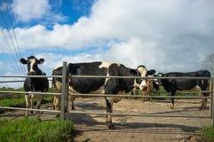 Exploração agrícola de gado Imagem de Stock Royalty Free