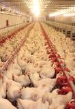 Exploração agrícola de galinha, aves domésticas Foto de Stock Royalty Free