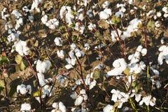 Exploração agrícola do algodão Foto de Stock Royalty Free