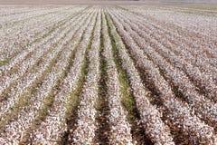 Exploração agrícola do algodão perto de Sevilha na Andaluzia, Spain Imagem de Stock