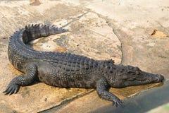 Exploração agrícola do crocodilo e jardim zoológico, exploração agrícola Tailândia do crocodilo Fotos de Stock Royalty Free