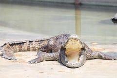 Exploração agrícola do crocodilo e jardim zoológico, exploração agrícola Tailândia do crocodilo Fotografia de Stock