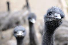 Exploração agrícola do Emu Imagens de Stock Royalty Free