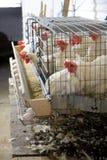Exploração agrícola do ovo Fotografia de Stock