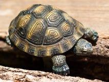 Explorateur de plastique de tortue Photographie stock libre de droits