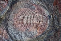 Exploration of trilobite fossil embedded in stone rock.  stock photos