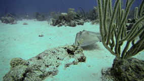 Exploration Underwater in San Andres Colombia. Beautiful Wild Stingray Deep Underwater in San Andres,Colombia stock video footage
