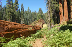 Explore Sequoia national park Stock Images