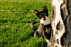 Explorer cat. Young cat looking behind birch tree Royalty Free Stock Images