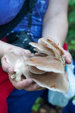 Explorer picking pleurotus mushrooms Stock Photo