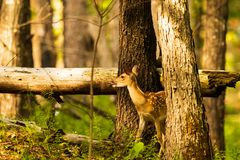 The Explorer. A young fawn explores the woods of the J.T. Nickel Family Nature & Wildllife Preserve located in Tahlequah, Oklahoma 2018 stock photography