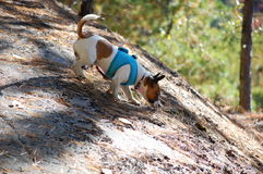 Exploring Algonquin. A chihuahua dog out hiking in Algonquin Park Royalty Free Stock Image