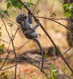 Exploring baby vervet monkey Royalty Free Stock Photo