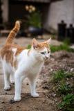 Exploring cat. A cat exploring the sorroundings of a house stock image