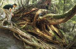 Exploring Cypress Forest at Lala Mountain Taiwan. Probably good for comparing size of man against buttress roots of a cypress tree Stock Photos