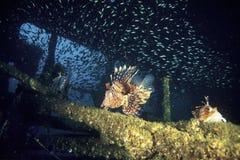 Exploring devil firefish Stock Photo