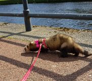 Adult fable hon ferret by River Nith Dumfriess. Exploring Dumfries and Galloway stock image